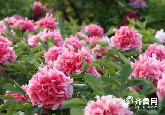 山东菏泽依托独特的牡丹资源,借助一带一路机遇,从种植环节到高端产品,不断加大科研力度,拉长产业链条,一朵牡丹花催生的美丽经济正悄然开放。 连日来,在北京天安门广场上,包括迎日红、藏枝红等14个珍贵品种、2400多株来自山东菏泽的牡丹盛装绽放,装点盛会。 中国花卉协会牡丹芍药分会副会长张贵宾介绍到:我们借北京举办一带一路高峰论坛之际,向世人充分展示和平盛世、吉祥的文化。 牡丹是菏泽的城市名片。目前,菏泽牡丹种植面积接近50万亩,品种已经达到1200多个。借助国家一带一路,牡丹也花开丝路,