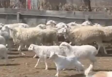 """现实版""""顺手牵羊"""":烟台大叔3个月丢9只羊 犯罪嫌疑人称墙矮"""