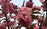 聊城:四月樱花浪漫盛开 姜堤乐园游人如织