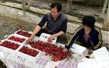 冠县:大棚樱桃喝牛奶 上市早每公斤能卖百元高价