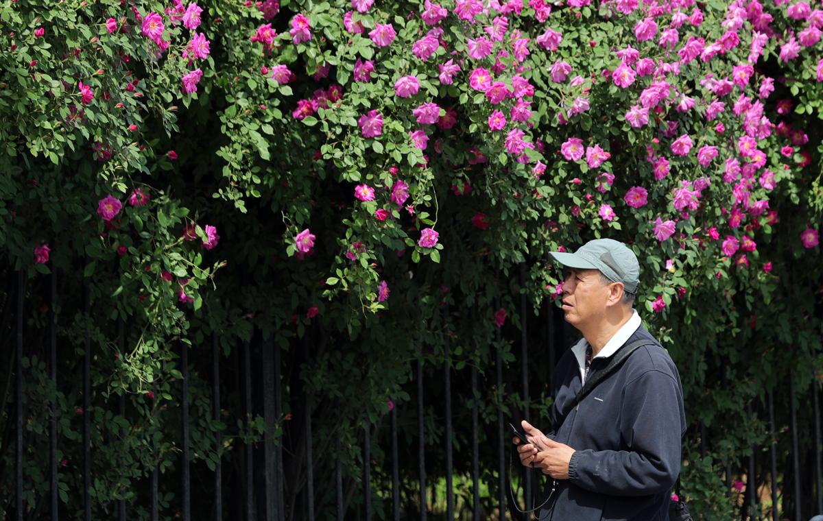 """蔷薇花悄然绽放!济南街头邂逅""""醉美""""花墙"""