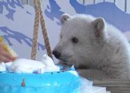 """118秒丨萌翻!蓬莱小北极熊过""""百岁儿""""一头扎进蛋糕"""