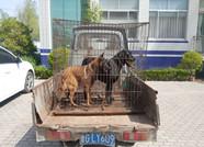 潍坊临朐一男子因酷爱养狗 偷盗三条名犬被抓