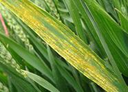 波及14市78县 山东3750万元资金防治小麦条锈病