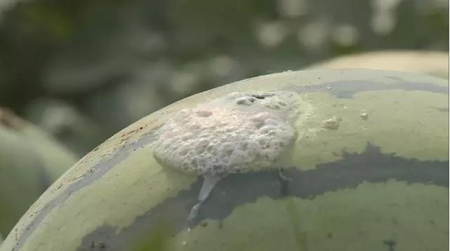 90秒|手贱!青州瓜农4300个西瓜被捅窟窿眼,腐烂冒白沫