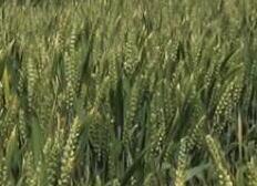 山东迎持续高温,干热风来袭,小麦预防要做好