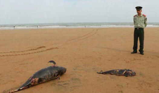 日照海边发现两只死亡江豚