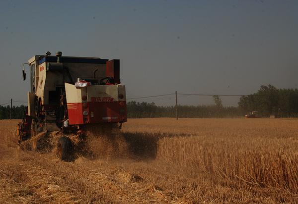 郯城:20万亩山地小麦喜开镰