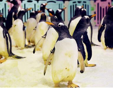 萌翻天!数十只巴布亚企鹅入住青岛极地海洋公园