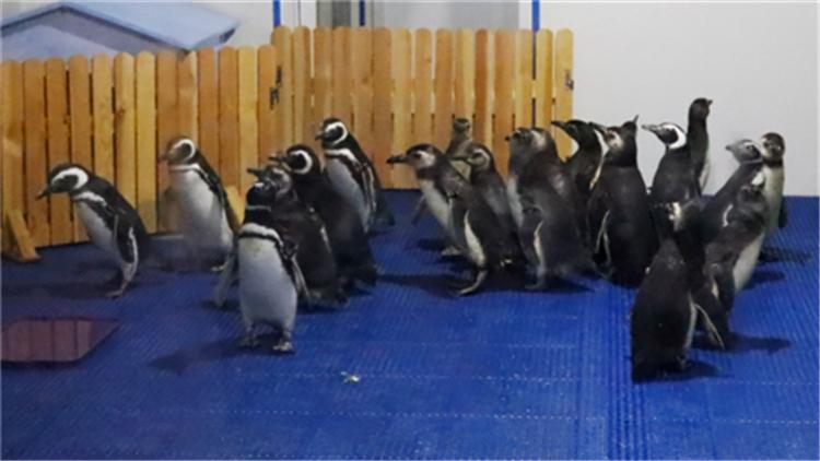 42秒丨20只麦哲伦企鹅运抵日照海洋公园