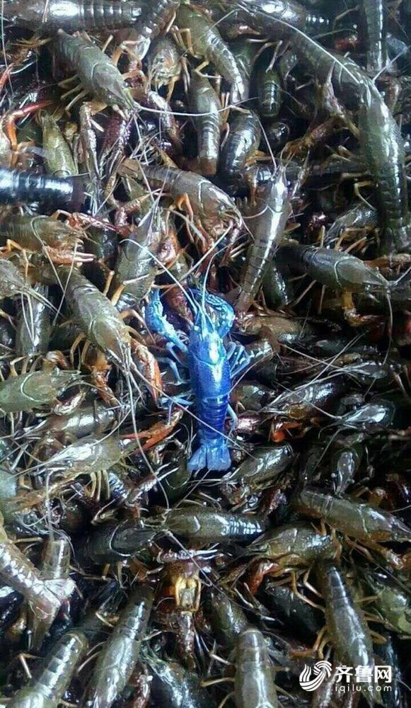 在济南海鲜大市场,记者逛遍了整个市场也没见到蓝色的小龙虾,大
