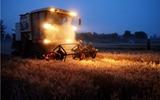 冠县81万亩小麦开镰收割  预计8-10天完成夏收、夏种