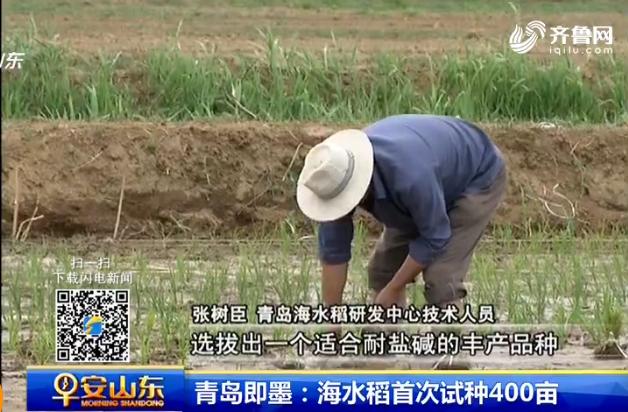 青岛即墨海水稻首次试种400亩 系山东省内唯一试点