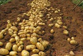 滞销土豆销售一空?消息播出后泗水土豆种植户手机被打爆
