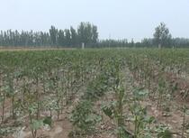 冰雹袭击德州农作物受损 专家支招:棉花受损后先观察5-7天