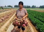 潍坊:大量圆葱囤积滞销 需要您的帮忙