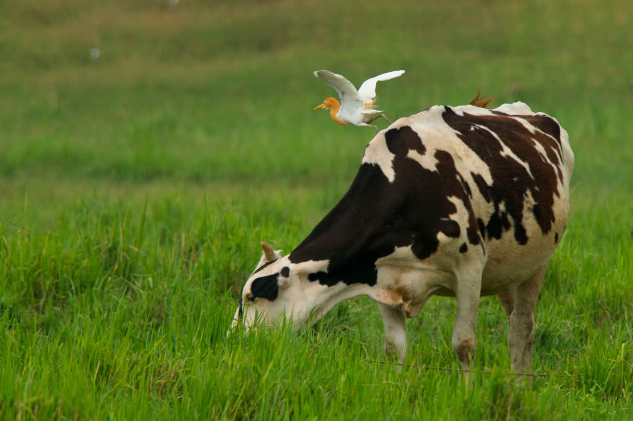 """诗情画意!济南黄河北沉沙池湿地""""牛背鹭""""美到哭"""
