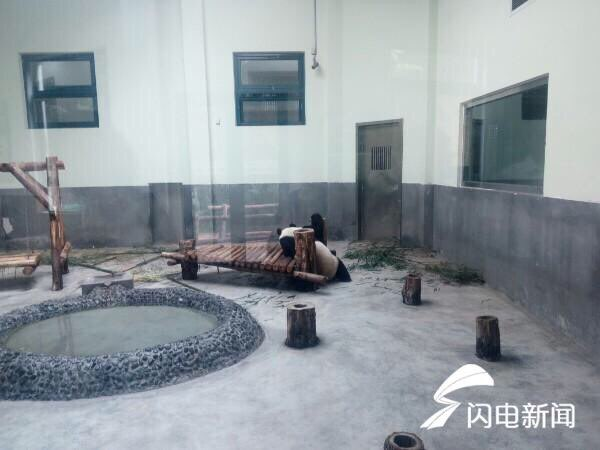 记者在青岛动物园大熊猫馆见到缘小的时候,它正在睡觉.
