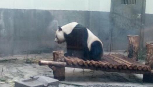 """""""被脱裤子""""大熊猫缘小居住""""豪华"""" 活泼好动霸气足"""
