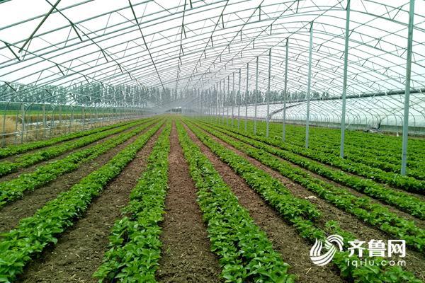 占地6000平米的温室大棚,24米跨度,中间只有一排立柱.jpg