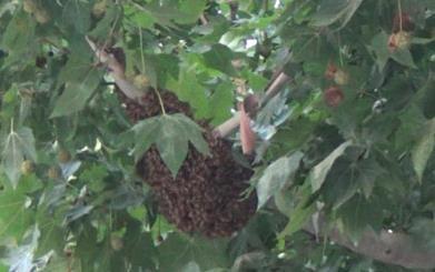 太吓人!潍坊这个小区门口聚集大量蜜蜂 蜂巢有脸盆大小