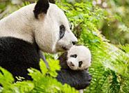 """88秒丨避暑有""""凉""""方,德州大熊猫躲进29℃空调房"""