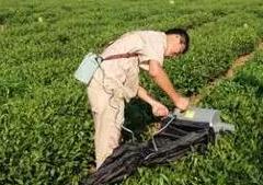 日照:祥路碧海茶园进行机械化采摘试验