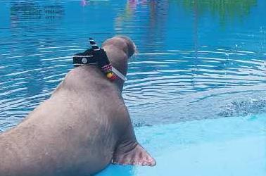 白鲸吐水海象卖萌 极地动物泼水节带您清凉一夏