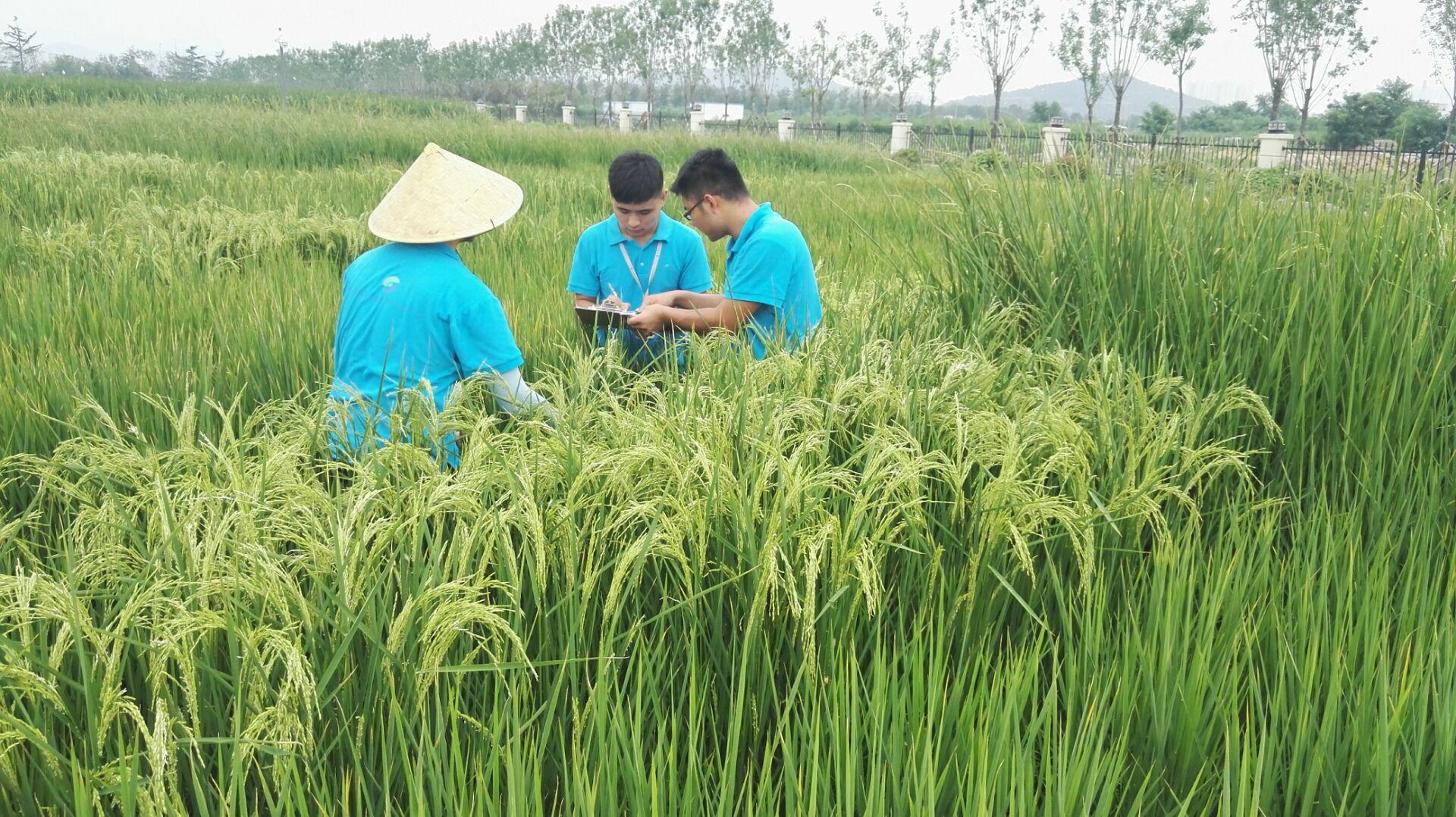 专家解读海水稻品种培育:两亿亩盐碱地每年多收600亿斤粮食