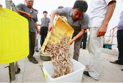 餐桌鲜物来了!山东增殖对虾9月1日12时开捕