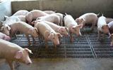 冠县:信访案件立查立改 污染严重养猪场被连夜拆除