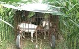 """聊城一农民发明放羊""""神器"""" 移动羊圈推进自家玉米地"""