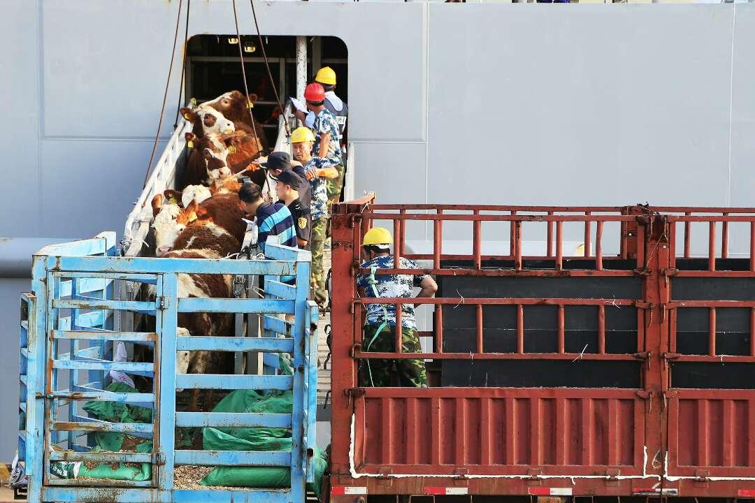 牛牛牛!3328头新西兰肉用种牛首次飘洋过海来烟台