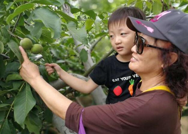 邹城郭里镇第三届核桃文化节开幕 2万亩核桃正式进入采摘季