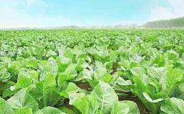 山东省蔬菜投保面积和财政补贴资金数额均居全国首位