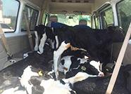 厉害了我的哥!男子开小客车载14头牛上高速被查