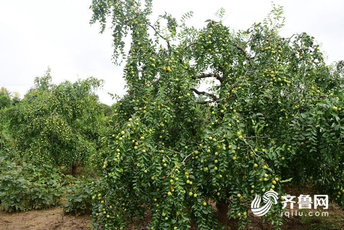 2017年8月30日,今年山东省茌平县聊城市高科技林果示范园里选育的各种枣树丰收在望。 (15).JPG