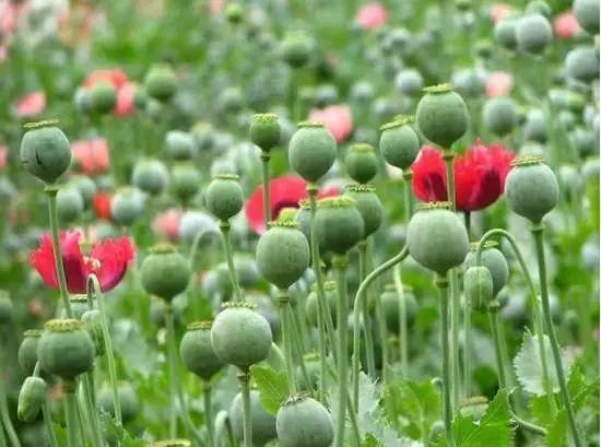 承包地里种植罂粟近千株 高唐一男子被判刑9个月