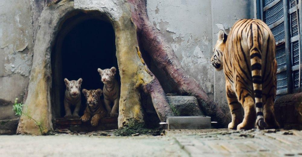 济南动物园喜添3只小虎崽 母黄虎产下两白虎实属罕见