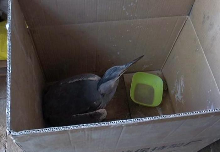 临清村民河边散步救下受伤水鸟 竟是二级保护动物