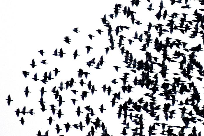 成群白头翁栖息茌平林海花园 翱翔场面壮观(图)