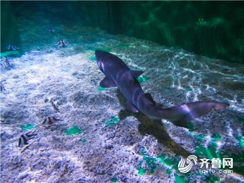 鲨鱼来啦!日照海洋公园引进6条沙虎鲨