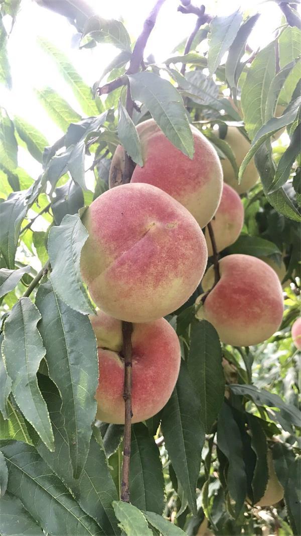 青州百余万斤鲜桃遇销售难题 频繁降雨致上市推迟