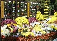 潍坊第六届菊花展25日将开展 共3000余盆菊花展出