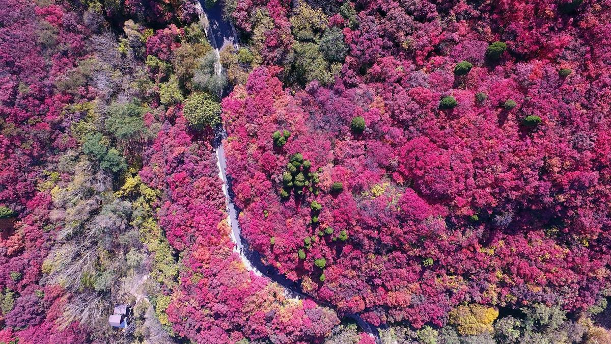 最美山东丨4000亩黄栌树披红妆 济南红叶谷迎来最佳观赏期