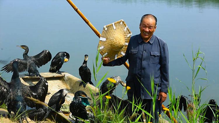 3分钟丨淄博马踏湖重现鱼鹰捕鱼  背后有啥故事