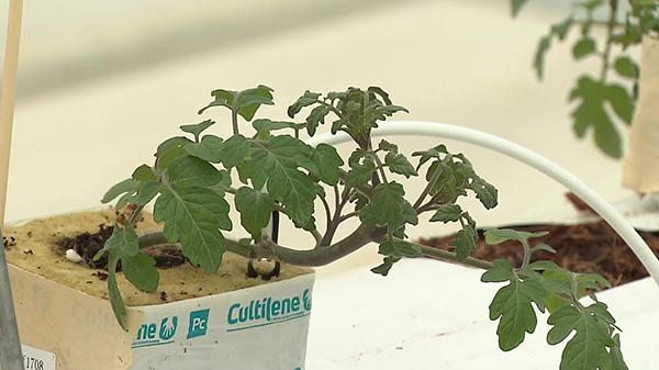 41秒丨德州首个智慧农业大棚建成投用 探秘番茄成长奥秘