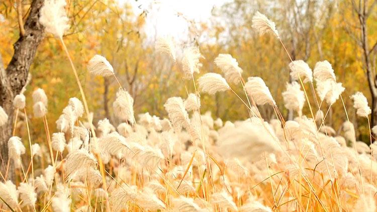 73秒丨你一定没见过的济西湿地:芦荻摇曳 花絮纷飞