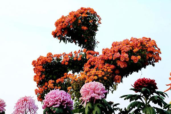美翻了!德州锦绣川秋季菊展4000余株菊花等您来