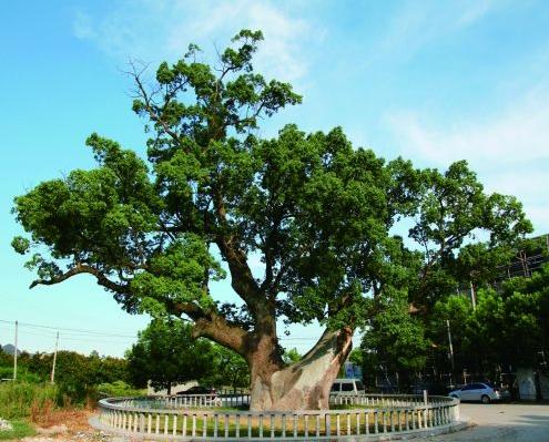 山东拟出台古树名木保护新规 刻字乱划最高罚3万